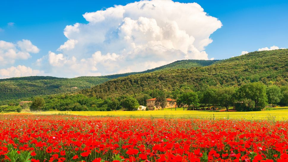 Field of red poppy flowers in Italy