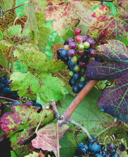 Grapes in Piedmont