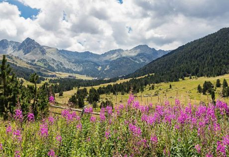 Field of flowers in the Pyrenees mountains