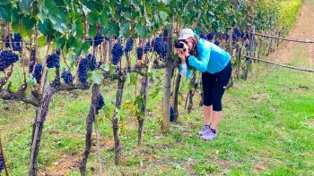 Woman photographing grapes in a Tuscan vineyard