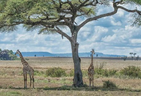 Giraffes under tree in Tanzania