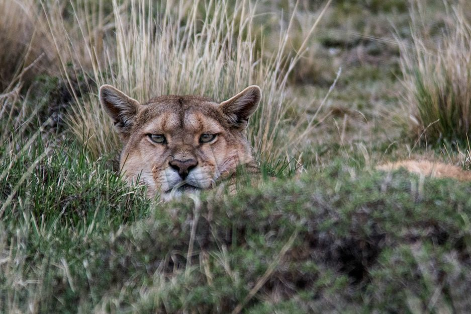 Mountain lion in grass