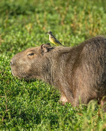 Capybara with bird on its head